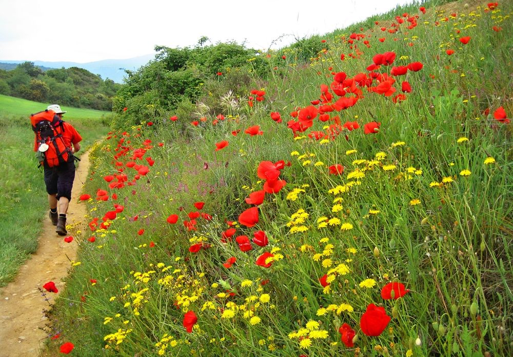 img pilgrim poppy field